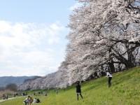 八幡市背割堤の桜並木(圧縮)